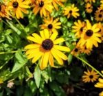 Native plant gardens add beauty, environmental benefits