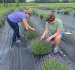 Farming sisters prove 'yes, you can grow lavender in Illinois'