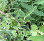 The Honeyberry: The Blueberry Alternative