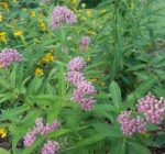 Learn about the native Illinois milkweed