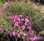 Plant asters for unique display of fall color
