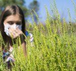 Ragweed, not golden rod, the source of seasonal allergies