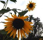 Master Gardeners offer gardening help desk at Eureka Library